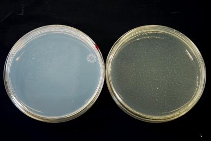Picture of Preparing Agar and Culture Plates