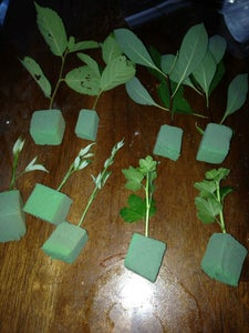 Insert Your Cuttings Into Foam, and Put Them Into a Humidity Chamber