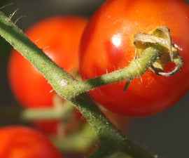 Pollinating Tomatoes