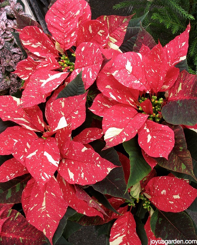 Picture of POINSETTIA SHIMMER SURPRISE