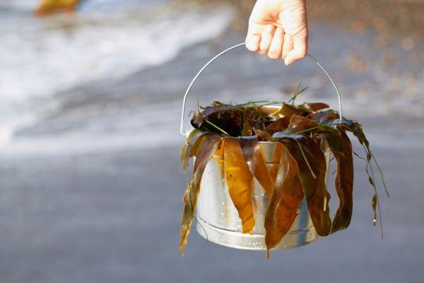 Picture of Harvest Ocean Water and Seaweed