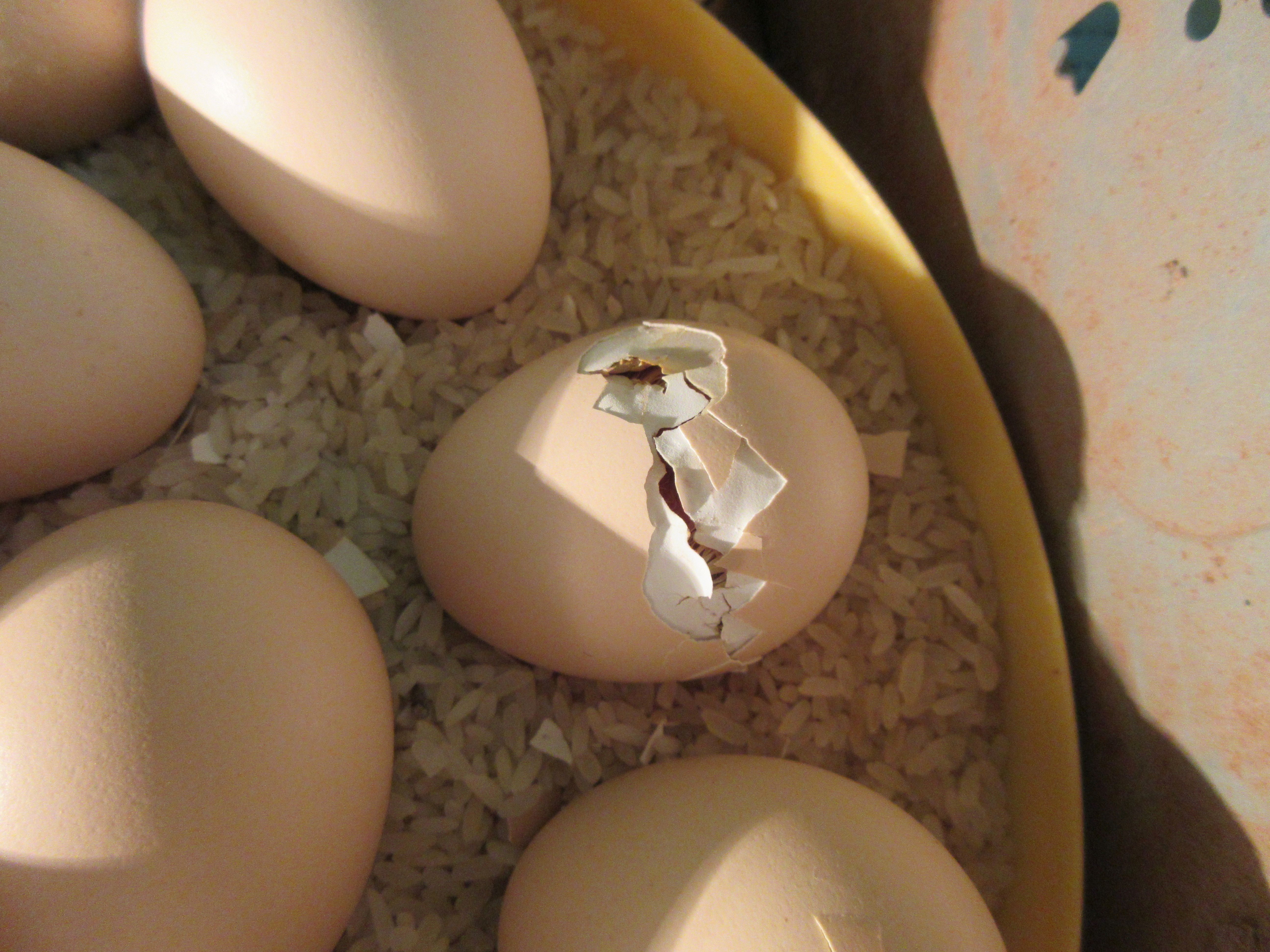 Picture of Chicken Eggs Started to Hatch
