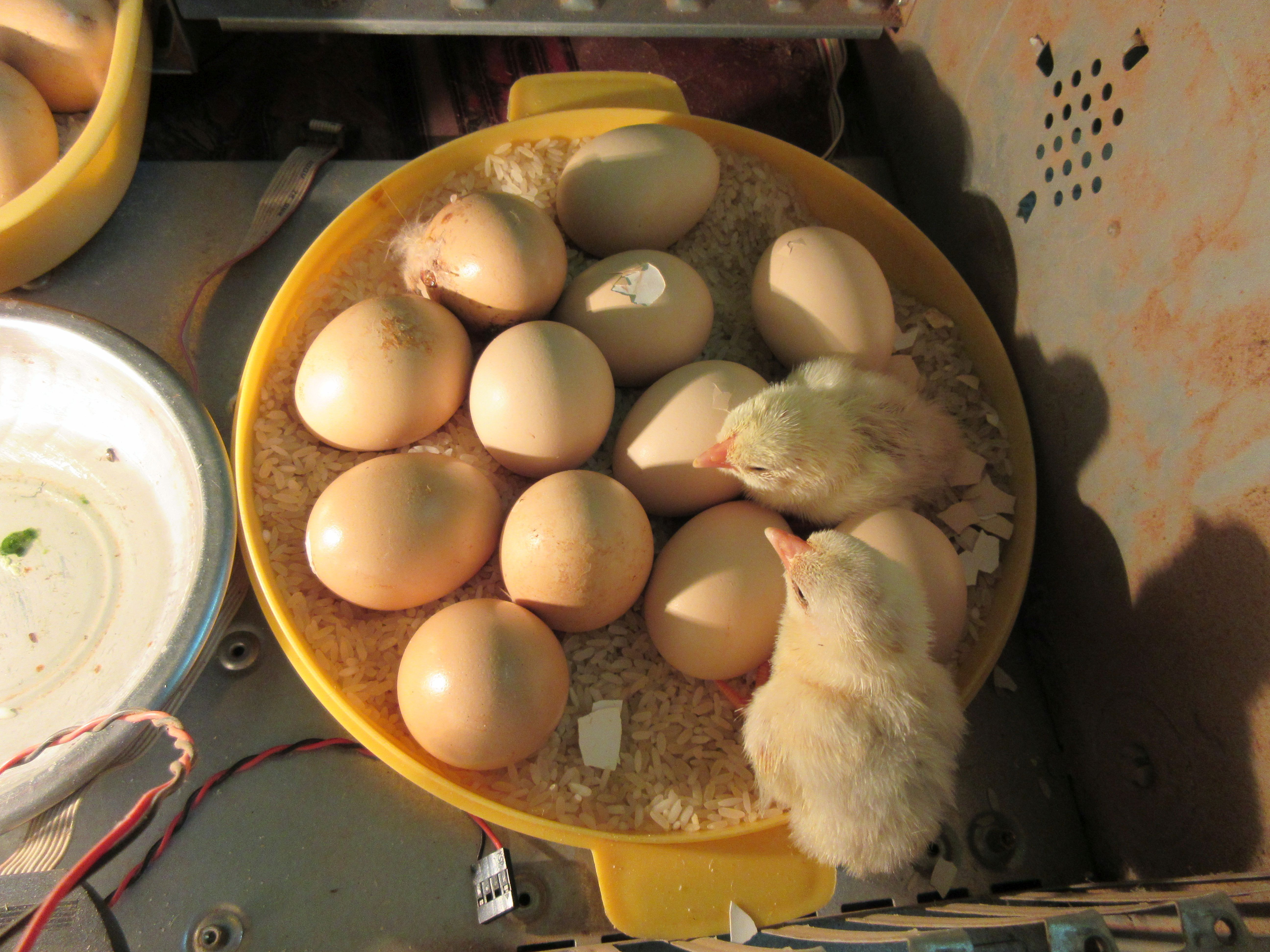 Picture of The New-born Chicks