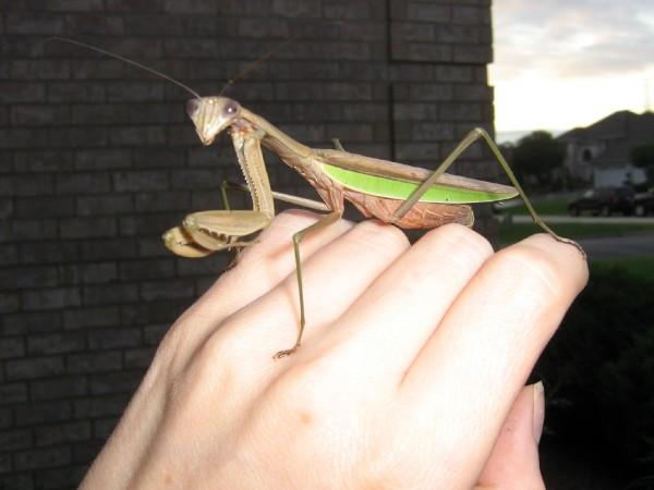 Feeding Baby Praying Mantis Newly Hatched Instructables