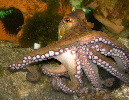 Picture of How to Hunt and Dig Out Octopus