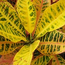 Colorful Tropical Foliage Plants Croton Plants and Caladium Plants