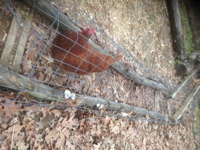 Chicken Chunnels