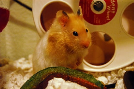 Get a Hamster and a Wheel
