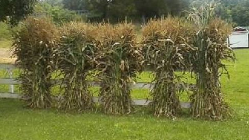 Picture of Growing and Freezing Sweet Corn