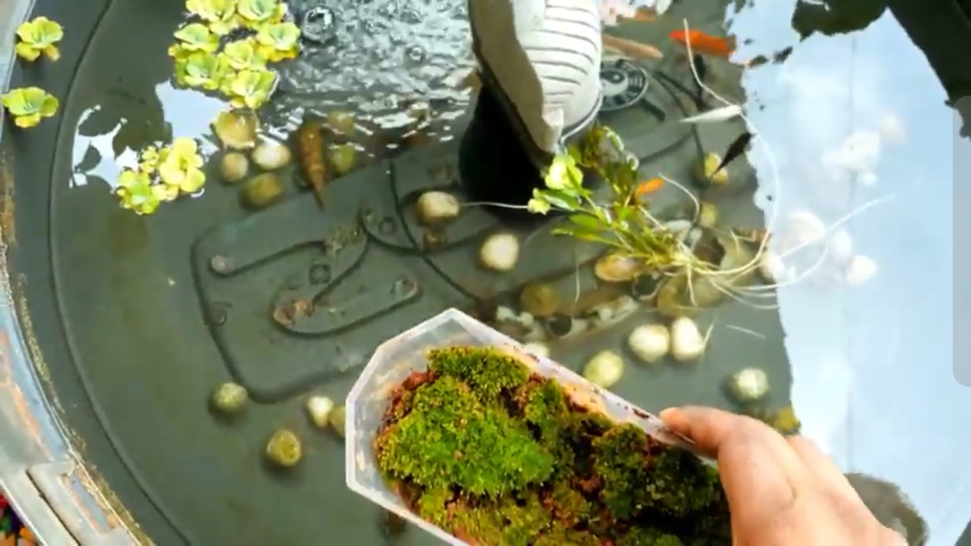 Picture of Placing Your Moss Into the Pond