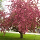 My Crab Apple Tree