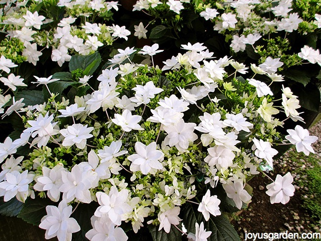 Picture of SHOOTING STAR HYDRANGEAS