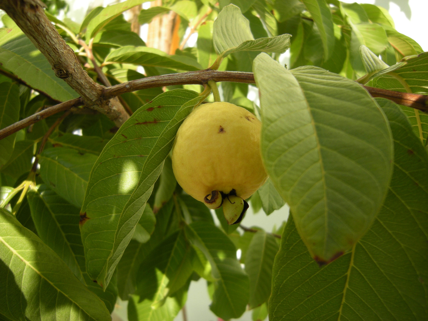 Picture of PREPARATION TE FOR COLITIS LEAFT GUAVA (GUAYABA)