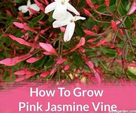 How to Grow Pink Jasmine Vine, Jasminum Polyanthum