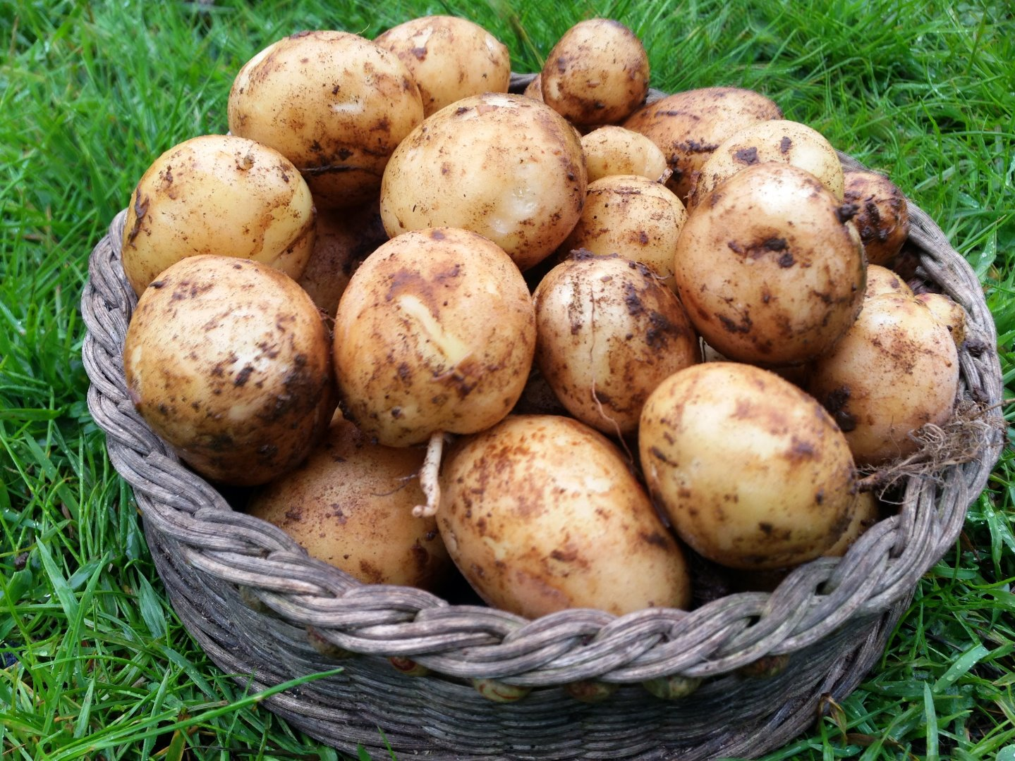 Picture of Grow a Ton of Potatoes