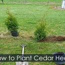 Hedging Cedar Trees