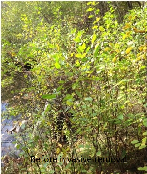 Picture of Invasive Species Control:  a Hands-on Environmental Project