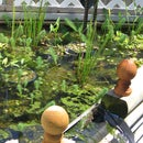 Pond Plants on the Cheap