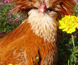 Choosing breeds of chickens - Polish Crested, Beauty, Brains and Rusticity.  Les Poules Padoues.