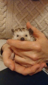 Handle Your Hedgehog on a Regular Basis.
