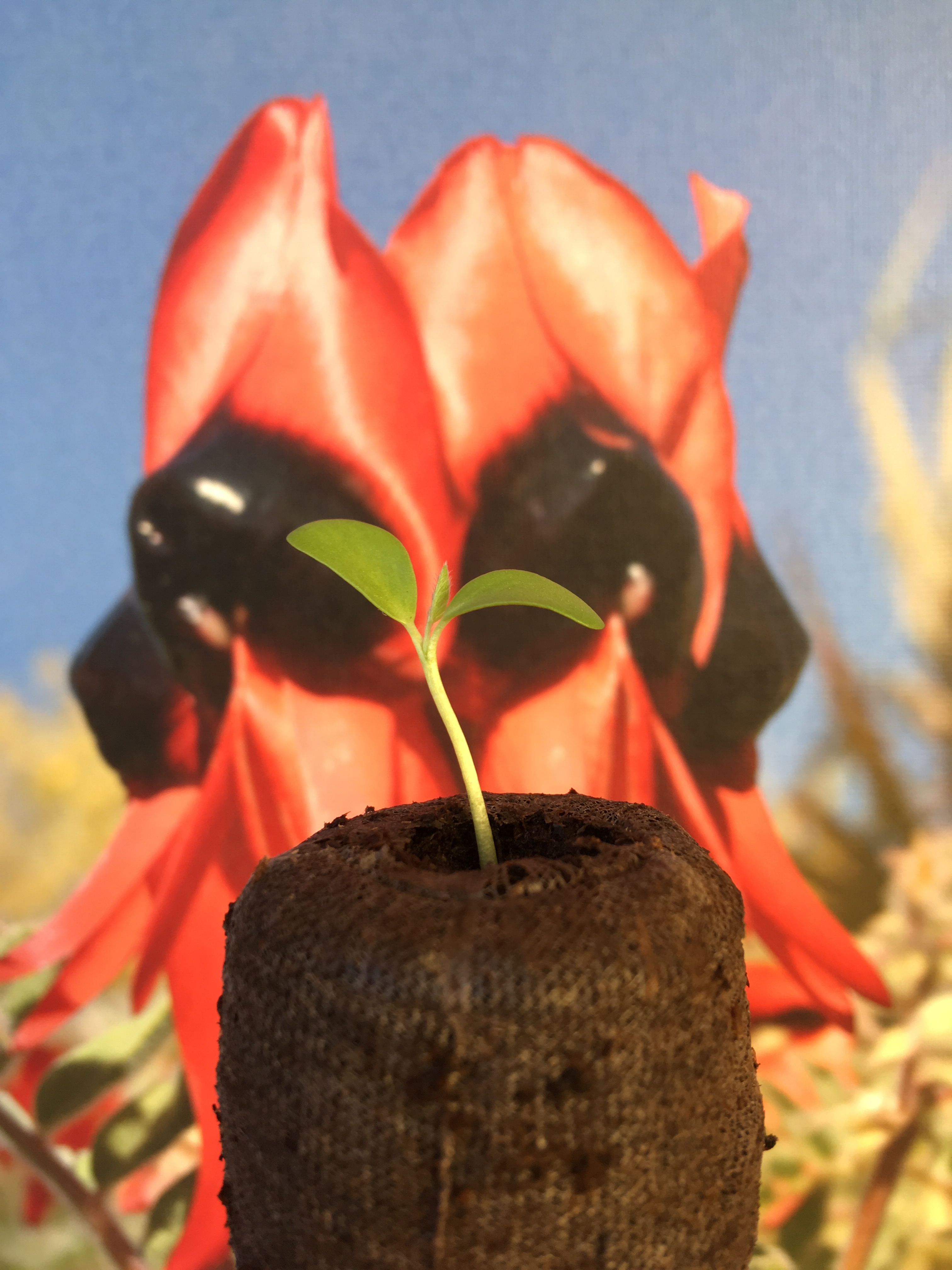 Picture of Grow Sturt's Desert Pea (Swainsona Formosa) From Seed
