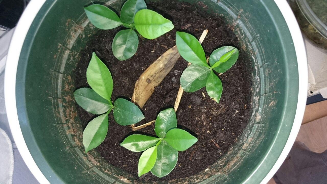 Picture of How to Sprout Pomelo-Plants