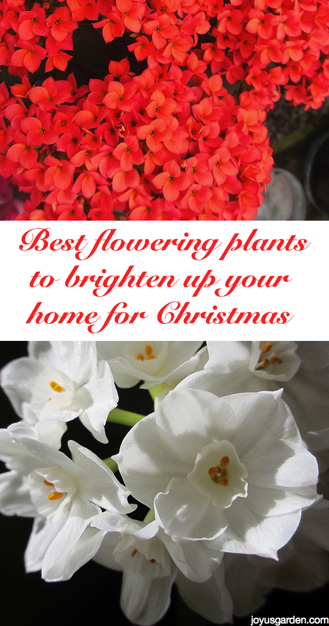 Picture of Best Flowering Plants to Brighten Up Your Home for Christmas
