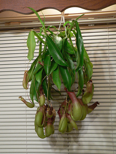 Picture of Nepenthes Pitcher Plant Potting Mix From Scratch