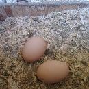Chicken Egg Calendar