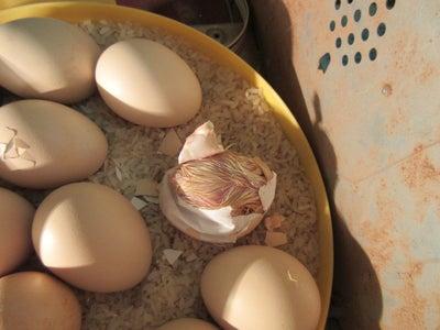 Chicken Eggs Started to Hatch
