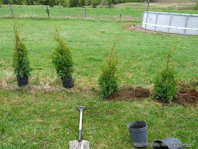 Picture of Planting Cedars - Fertlizing - Watering
