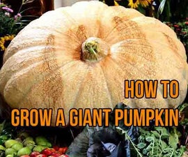 Grow a giant pumpkin (Atlantic giant) from seed