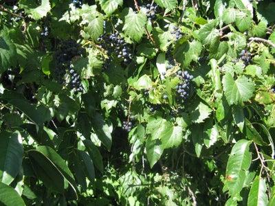 Identifying Wild Grapes