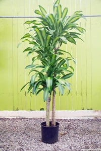 "Corn Plant, Dracaena Massangeana: Dracaena Fragrans(aka Deremensis)""massangeana"""