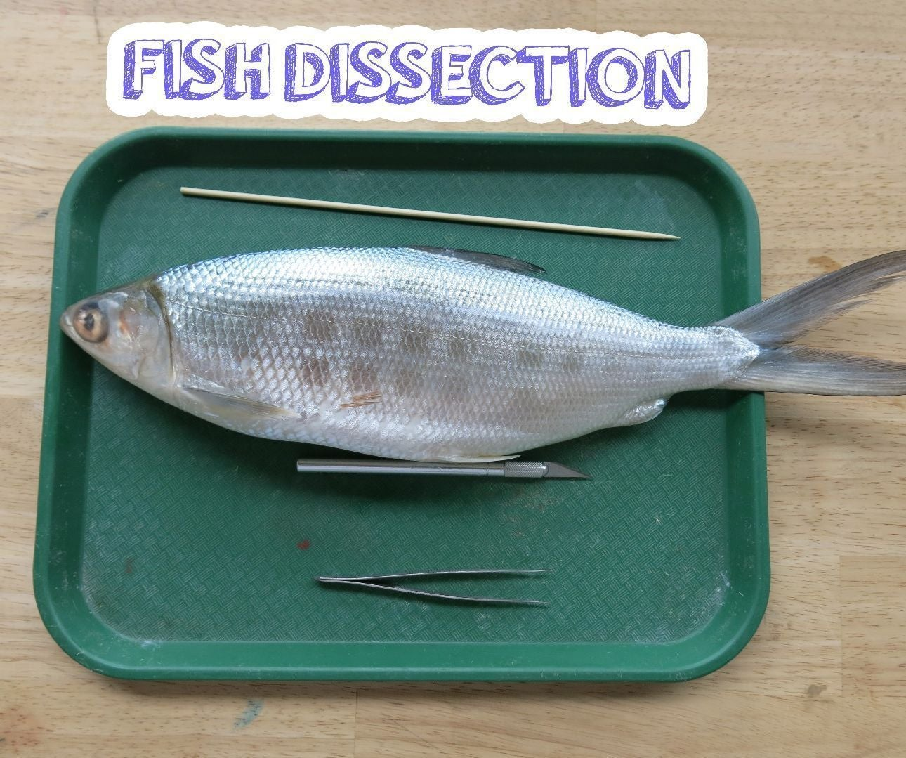 Fish Dissection 11 Steps With Pictures