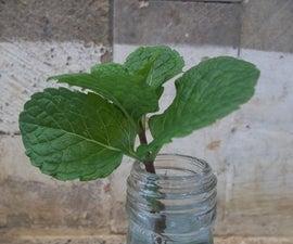 Grow Mint Indoor