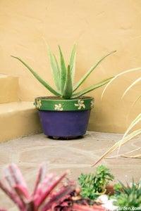 Aloe Vera, Burn Plant, Medicinal Aloe; Aloe Barbedensis