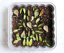 How to Propagate & Grow Succulents From Leaves