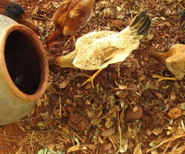 Growing Termites for Feeding Chicken