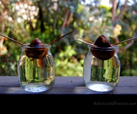 Growing Avocado Plants From Seed