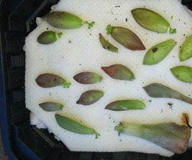 How to QUICKLY Root/Propagate Succulents From Leaves