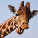 The happy giraffe