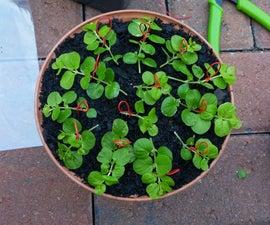 Rooting/Propagating Sprawl-y Plants