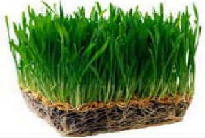 Picture of Grow Wheatgrass at Home