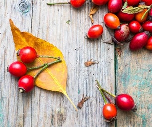 Rose Hips for the Autumn Winter Home Apothecary