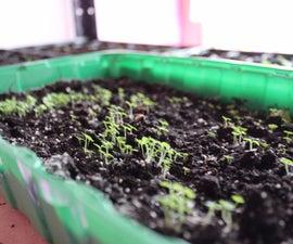 Fastest Growing TREE - Empress Tree (Paulownia Shantong) from seed!
