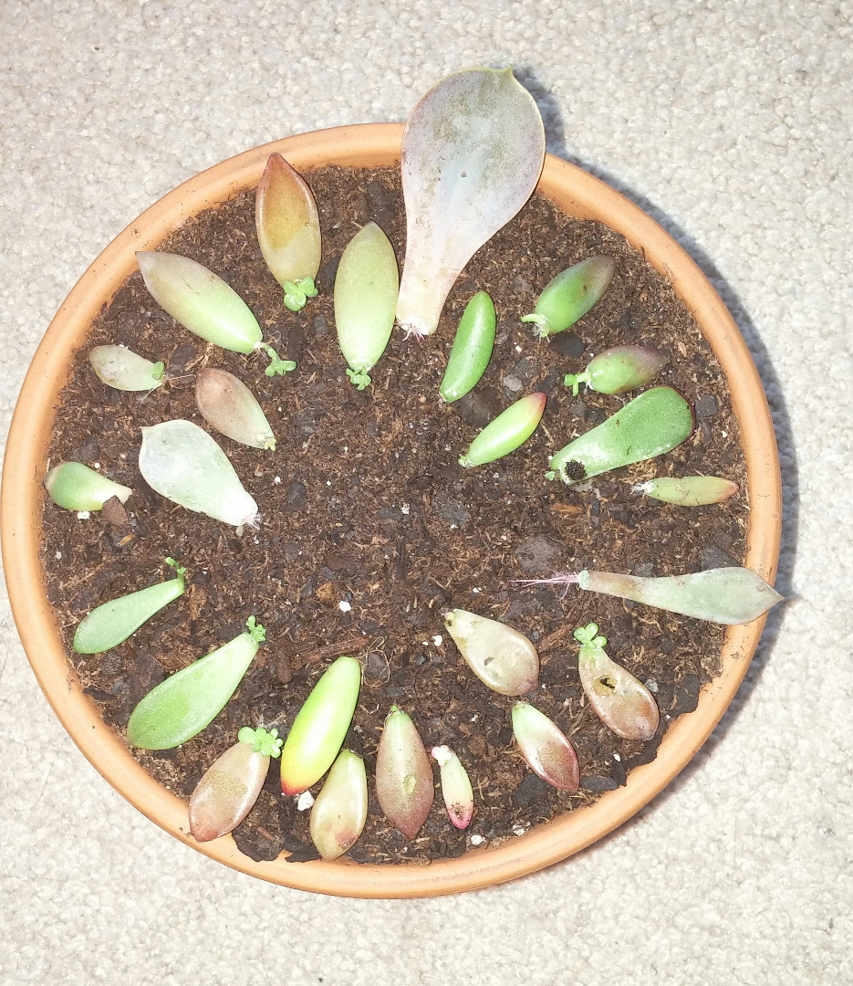 Picture of How to QUICKLY Root/Propagate Succulents From Leaves