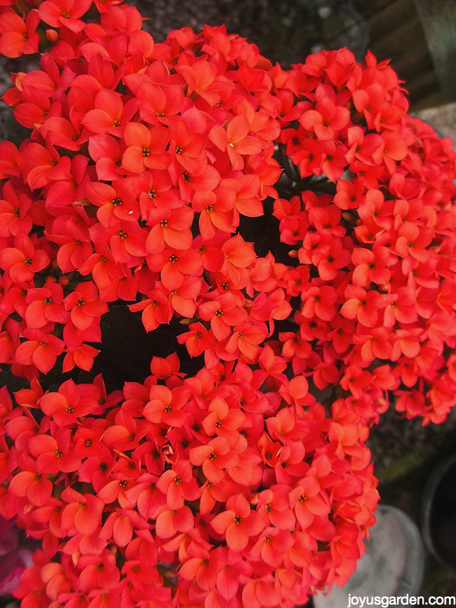 Picture of KALANCHOES