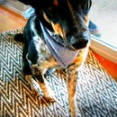 The most simple DIY (easy, cheap, & clean) dog bandanna EVER!!!!!!!!!