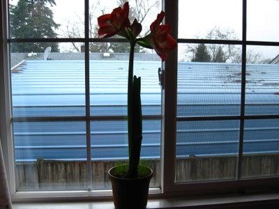 How do you germinate amaryllis Minerva seeds?